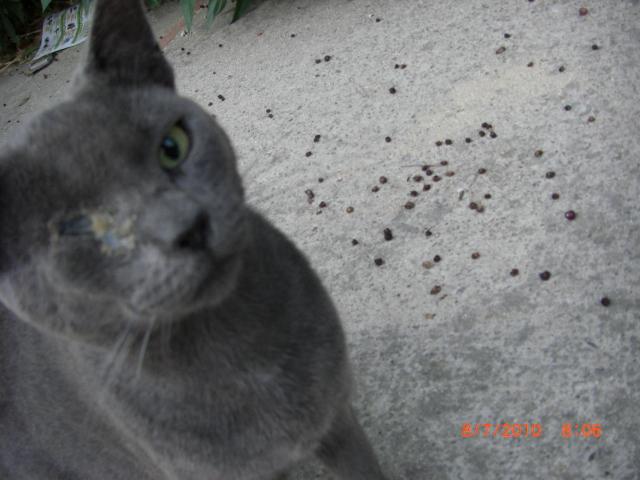 fotos gato azul ruso: