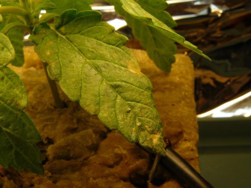 Tache jaune sur feuille verte diagnostic cannaweed - Polygala myrtifolia feuilles jaunes ...