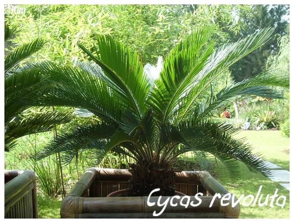 cycas_10.jpg