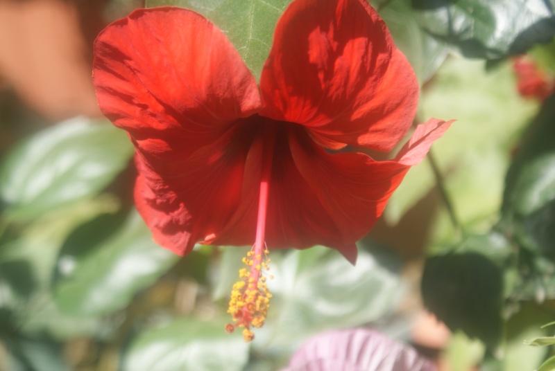 Bouturer l\' Hibiscus syriacus