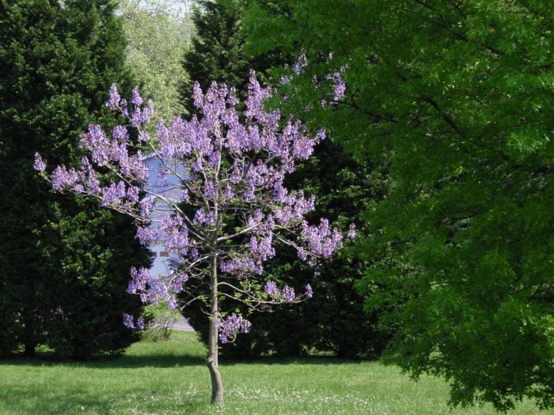 La pianta con le foglie a forma di cuore for Pianta ornamentale con fiori a grappolo profumatissimi