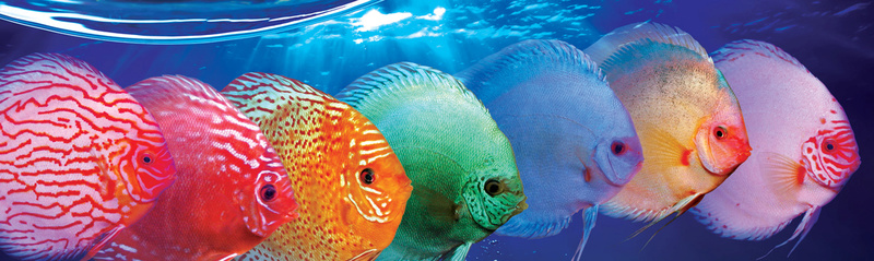 FASCINATION DISCUS