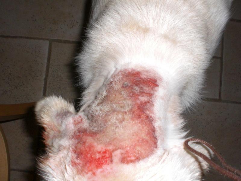 Quelles races de chiens supportent le moins la chaleur for Pipi de chien sur carrelage