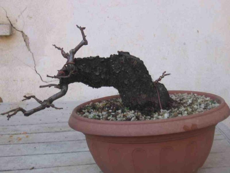 Ciliegio canino semicascata for Bonsai ciliegio