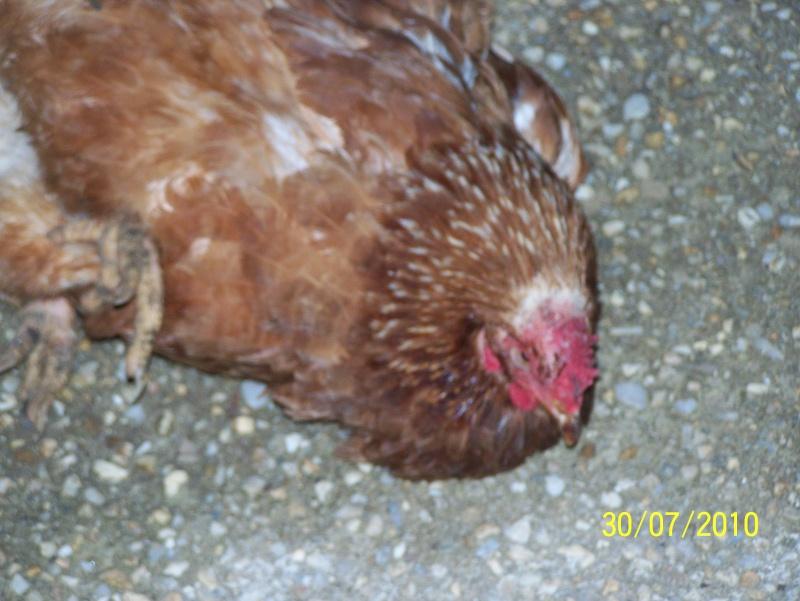 Gros probleme reponde vite for Les maladies des poules