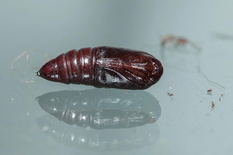 Orthosia incerta quelle terre pour nymphose - Quelle terre pour aloe vera ...