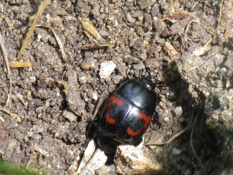 Col opt re rouge et noir - Insecte rouge et noir ...