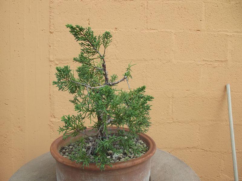 Recuperare un juniperus ito - Porta portese messaggi ...