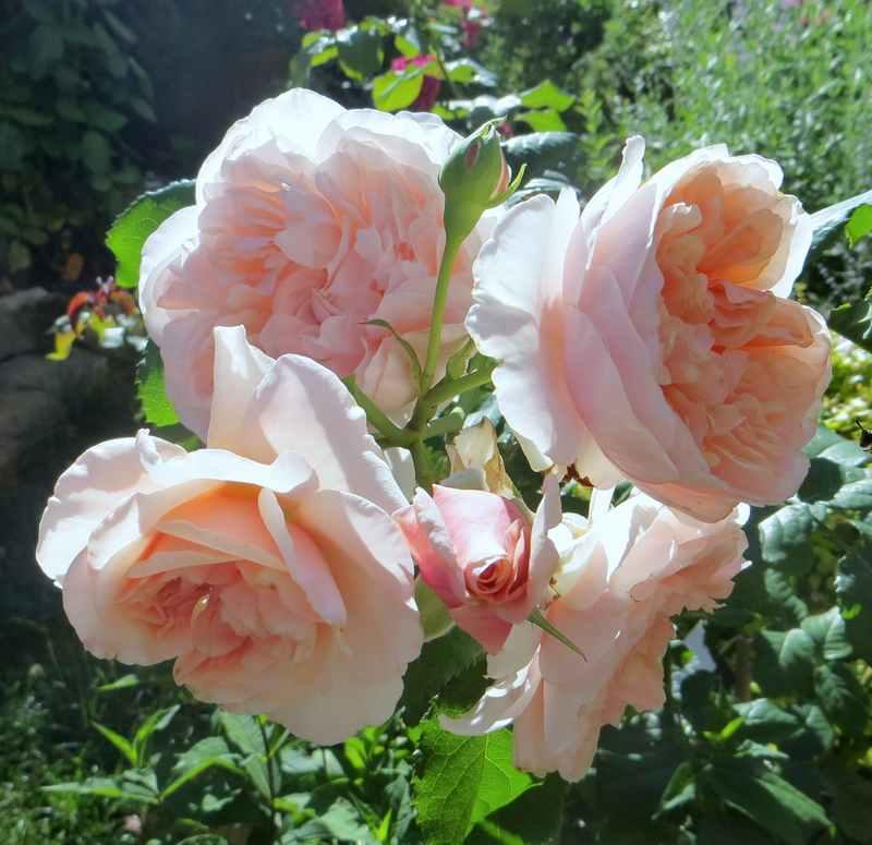 rose_d16.jpg
