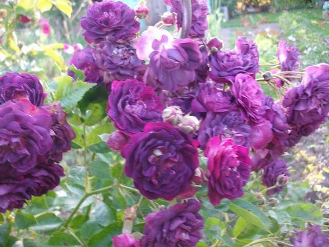 rose_m11.jpg