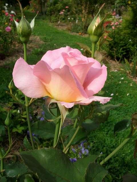 rose_t12.jpg