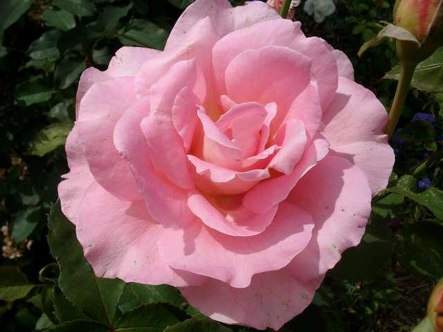 rose_t14.jpg