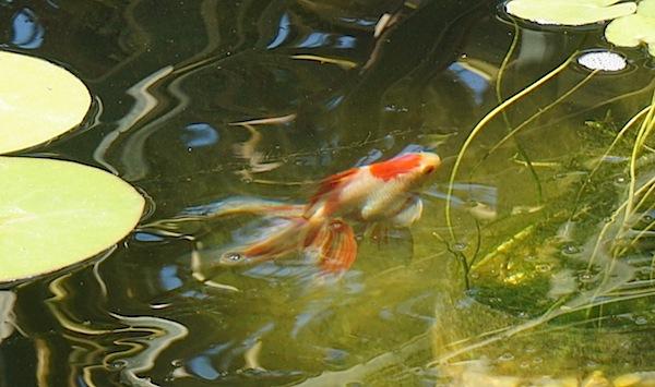 Bassin ext rieur avec lagunage et voiles de chine page 24 for Brumisateur bassin exterieur