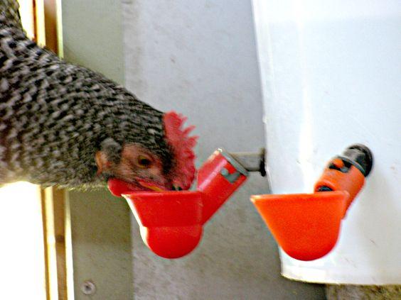 Abreuvoirs Pour Poules