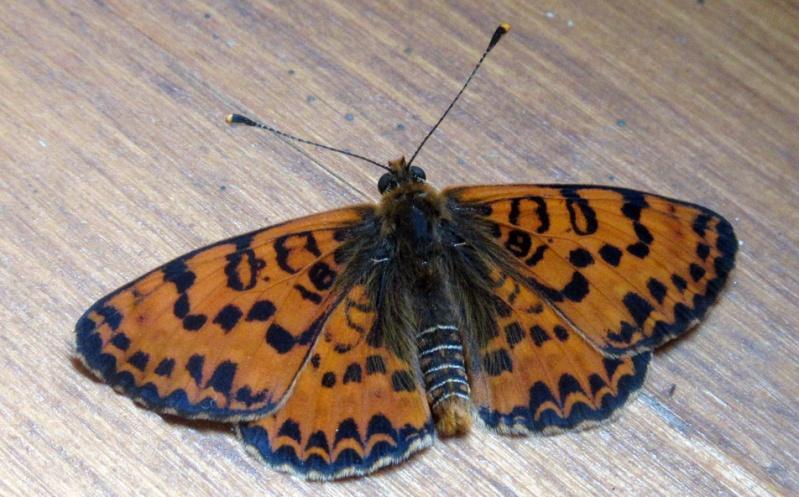 Melit e orang e chrysalide z br e et papillon tigr - Duree de vie papillon de nuit ...